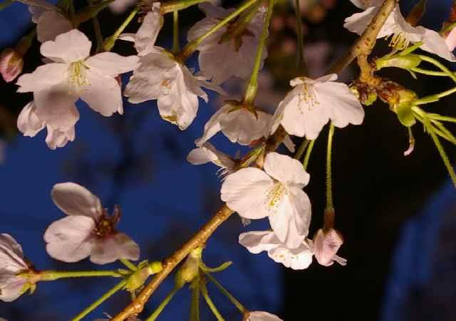 大阪城と夜桜