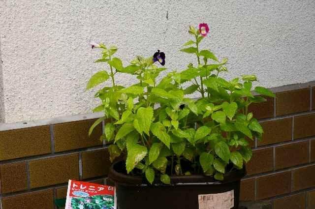 トレニアの開花