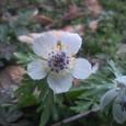 春を告げる節分草