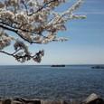 桜の海津大崎 2011